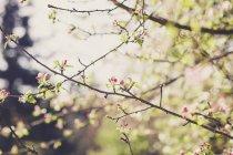 Ramitas de manzano en flor vista de primer plano - foto de stock