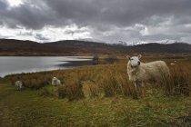 UK, Scotland, Sheeps at lakeside, mountains view on background — Stock Photo
