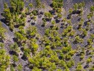 Spanien, Kanarische Inseln, La Palma, Fuencaliente, Kanarischen Insel Pines, Pinus Canariensis, wächst im Krater San Antonio — Stockfoto