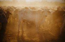 Australien, Westaustralien, australische Rinder auf einem Bauernhof — Stockfoto