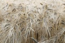 Spikes of rivet wheat at field, closeup view — Stock Photo
