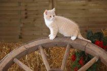 British Shorthair kitten standing on old cart-wheel in barn — Stock Photo