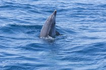 Dolphin spyhopping in sea on water surface — Stock Photo
