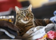 Tabby Cat sitting on clothes and looking at camera — Stock Photo