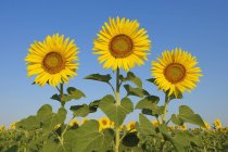 Sunflowers (Helianthus annuus) against clear blue sky. Tuscany, Italy. — Stock Photo