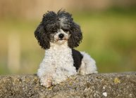 Black and white Poodle sitting on rock in nature — Stock Photo