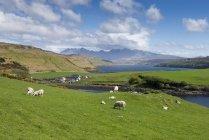 Royaume-Uni, Écosse, île de Skye, vue de moutons troupeau paissant sur le pré vert — Photo de stock