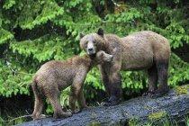 Canadá, Santuario de osos Grizzly de Khutzeymateen, hembra grizzly con oso de pie cub en tronco de árbol - foto de stock