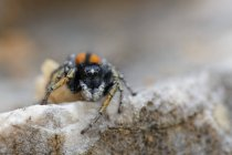 Closeup view of Jumping spider on rock — Stock Photo
