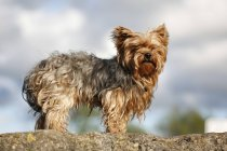 Yorkshire Terrier standing on rock and looking at camera — Stock Photo