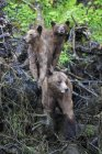 Canada, Khutzeymateen Grizzly Bear Sanctuary, Female grizzly bear with bear cubs — Stock Photo