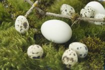 Goose eggs and quail eggs on moss — Stock Photo