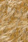 Поле ячменя, цветущее на ветру днем, вид крупным планом — стоковое фото
