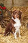 Curious Australian Shepherd dog sitting on straw in barn — Stock Photo