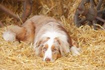 Australian Shepherd lying in straw in barn — Stock Photo