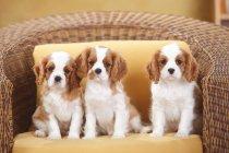 Кавалер Кінг Чарльз спаніель щенки сидіти на плетений стілець з подушкою — стокове фото