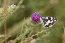 Österreich, Schachbrettfalter auf Kratzdistel Blüte, Nahaufnahme des Schmetterlings auf Wildblumen — Stockfoto