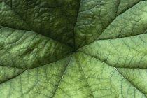 Германия, Мюнхен, ботанический сад, зонтичное растение, Saxifragaceae, Darmera peltata — стоковое фото