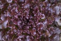 Closeup view of batavia lettuce salad leaves — Stock Photo