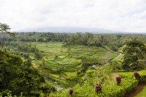 Индонезия, Вид рисовых полей в Леренг Ай в дневное время — стоковое фото