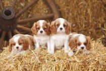 Четыре щенка Кавалера короля Чарльза спаниеля на тюке сена в сарае — стоковое фото