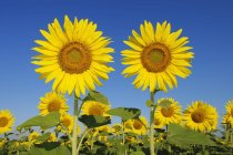 Italy, Sunflowers against blue sky, close up — Stock Photo