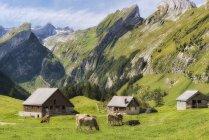 Suisse, les vaches paissent sur les maisons pré et chalet dans les montagnes — Photo de stock