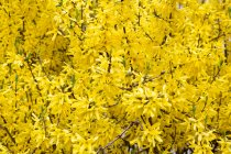 Nahaufnahme der gelben Forsythienblüte — Stockfoto