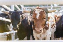 США, штат Техас, худоби великої рогатої худоби — стокове фото