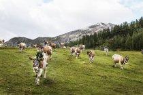 Autriche, État de Salzbourg, Altenmarkt-Zauchensee, abattant le bétail du pâturage de montagne — Photo de stock