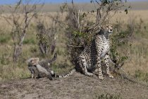View of Cheetah with cubs at Masai Mara National Park, Africa, Kenya — Stock Photo