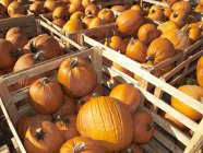 View of fresh Pumpkins in wooden crates — Stock Photo