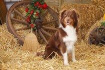Miniature Australian Shepherd sitting on straw in barn — Stock Photo
