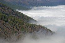 Spanien, Kanarische Inseln, Teneriffa, kanarische Kiefern im Teide-Nationalpark — Stockfoto