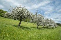 Allemagne, Baden Wuerttemberg, Vue de prairie avec pruniers dispersés au printemps — Photo de stock