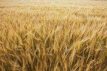 Campo de cebada floreciendo en el viento durante el día, vista de cerca - foto de stock