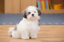 Mixed-breed puppy sitting on wooden floor in room — Stock Photo