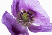 Opium fleur de pavot sur fond blanc, gros plan — Photo de stock