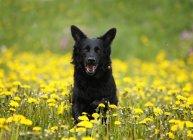 Чорний собака працює в квітучий луг з мовою з — стокове фото