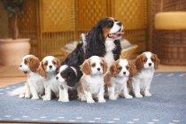 Кавалер король Чарльз спаниель с шестью щенками, сидящими на ковре — стоковое фото
