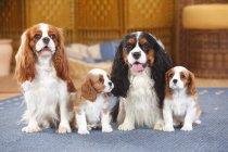 Два спаниеля с двумя щенками, сидящими на ковре — стоковое фото