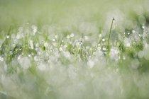 Allemagne, Bavière, Rosée sur herbe, gros plan — Photo de stock