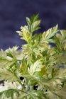 Крупным планом растущих веточек полыни на тёмном фоне — стоковое фото