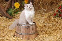 British Longhair kitten sitting on wooden barrel in barn and looking up — Stock Photo