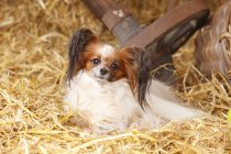 Continental Toy Spaniel sitting in barn — Stock Photo