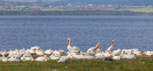 Afrique, Kenya, vue de pélicans dans le Parc National du lac Nakuru pendant la journée — Photo de stock