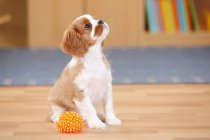 Cavalier King Charles Spaniel puppy with toy sitting on wooden floor and looking up — Stock Photo