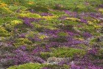 France, Bretagne, Cap Frehel, Landscape with gorse and heather — Stock Photo
