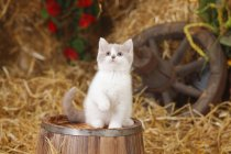 British Shorthair kitten sitting on wooden barrel in barn and looking up — Stock Photo