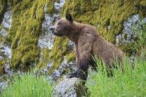 Mujer oso pardo caminando por polo en bosque verde - foto de stock